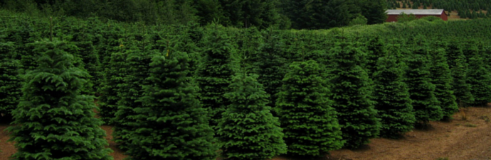 christmas tree farms in and around dallas tx